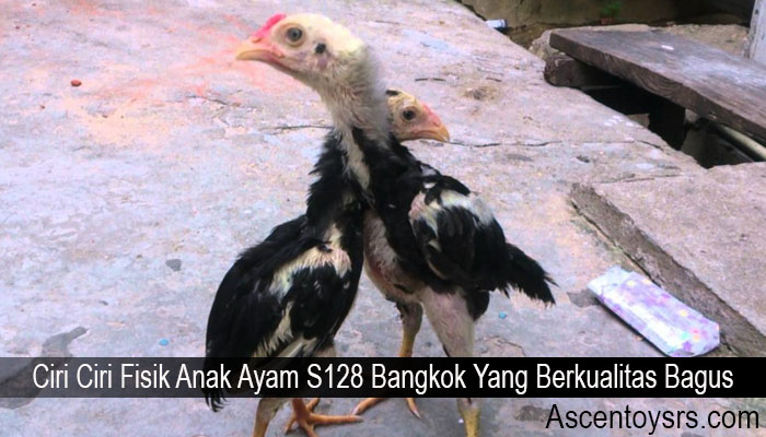 Ciri Ciri Fisik Anak Ayam S128 Bangkok Yang Berkualitas Bagus