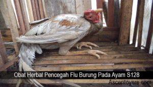 Obat Herbal Pencegah Flu Burung Pada Ayam S128